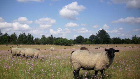 Schafe in Grasnelken