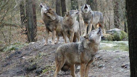 Das Wolfsrudel streift durch das Unterholz und stimmt zum großen Heulkonzert an