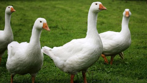 geese-2655516_1920