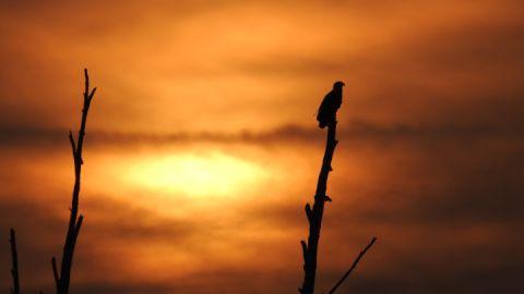 Seeadler im Sonnenuntergang