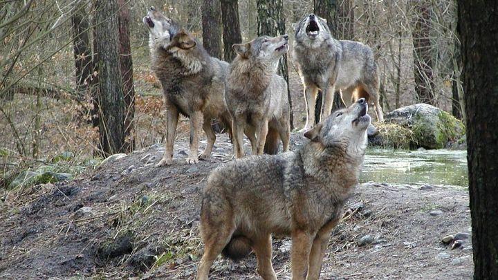 Wolfsrudel - Wildpark-MV